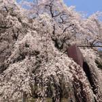 これは隠れた名桜!京北町周山魚ヶ渕の一本桜がスゴい!