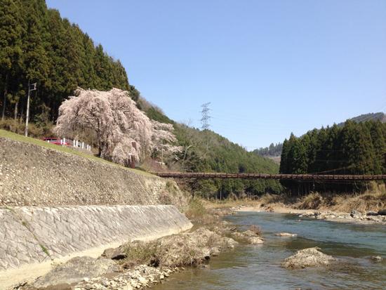 京北一本桜