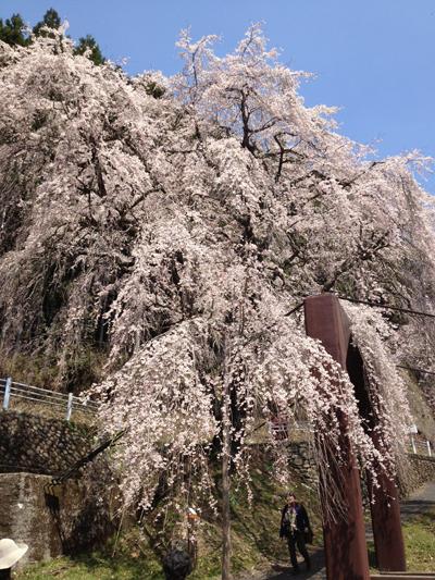 京北町周山魚ヶ渕の一本桜