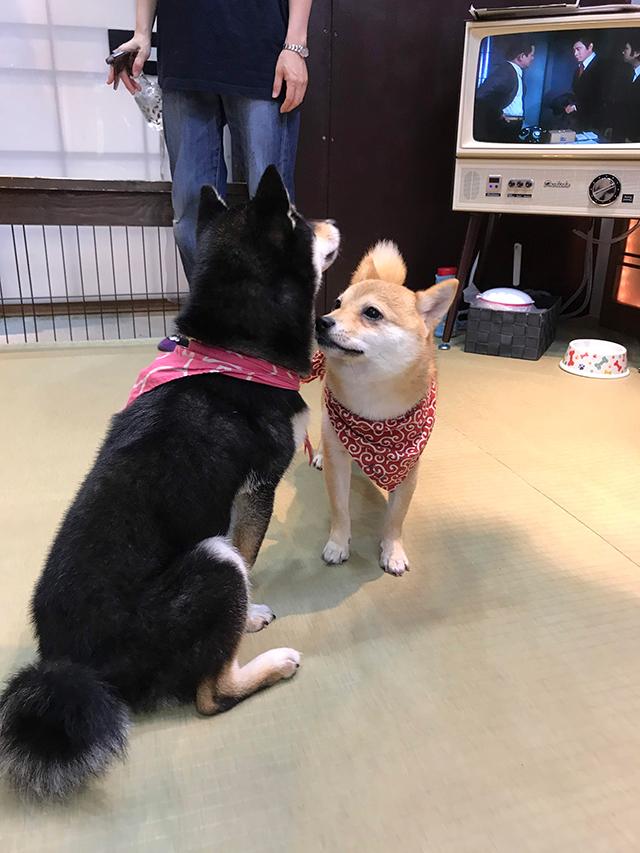 豆柴かわいすぎるやろ・・・ 子供と一緒に京都豆柴カフェに行って来た!