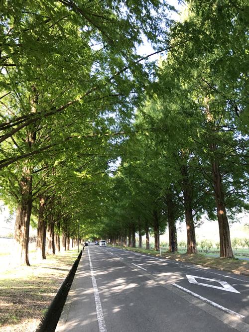 滋賀・マキノ高原のメタセコイア並木がとにかく美しい!毎月第一土日に開催されるマキノメタセコイヤマーケットもオススメ!