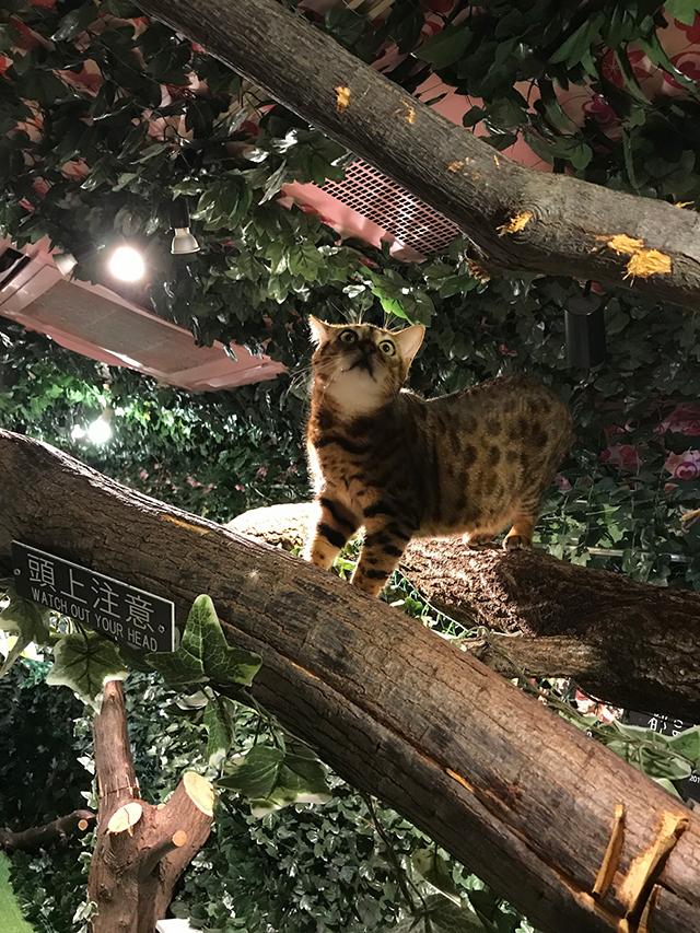 京都・新京極にヒョウがいるジャングル出現!? 子供と一緒に京都ひょう猫の森に行って来た!!