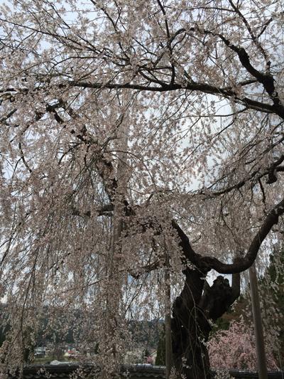 福徳寺の枝垂桜