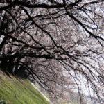 【2017】さくらであい館の展望塔もオープン!今年の花見は1.4kmの桜のトンネルが楽しめる背割堤がオススメ!