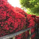 キリシマツツジが咲き誇りたけのこも味わえる長岡天満宮に行って来た!