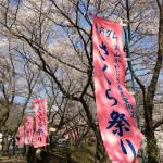 花火大会まである美山・大野ダムさくら祭りは4月13日まで!今が見頃ですよ!