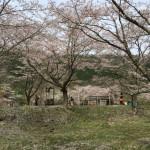 桜を求めて美山の大野ダムさくら祭りや京北町にすべり込みでお花見してきました!