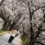 1.4kmの桜のトンネルは圧巻!京都でお花見するなら淀川河川公園背割堤がオススメ!