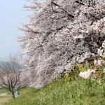 【穴場あり】今年も花見シーズンがやって来た!子供と行く京都市近郊の桜スポットをご紹介!