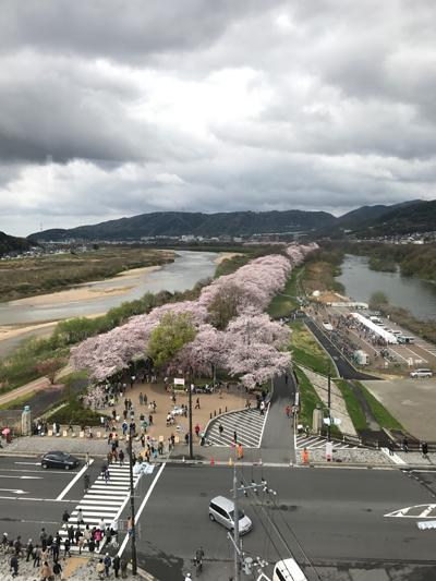 背割堤の桜 さくらであい館